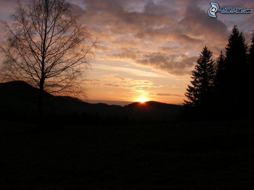 tramonto, siluette di alberi, alberi di conifere