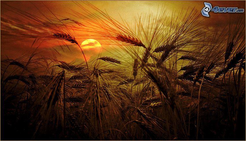 tramonto sopra il campo, grano