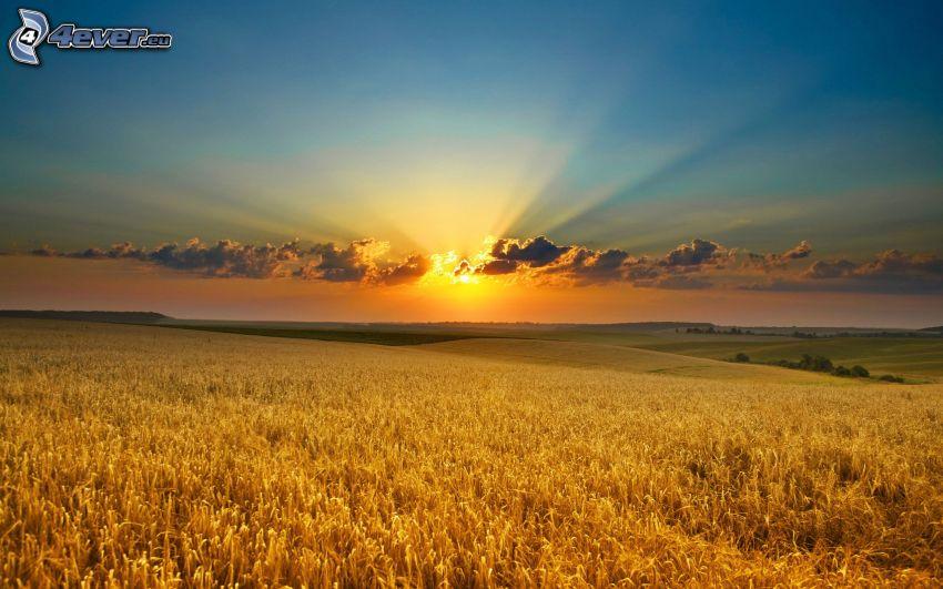 tramonto sul campo, campo di frumento