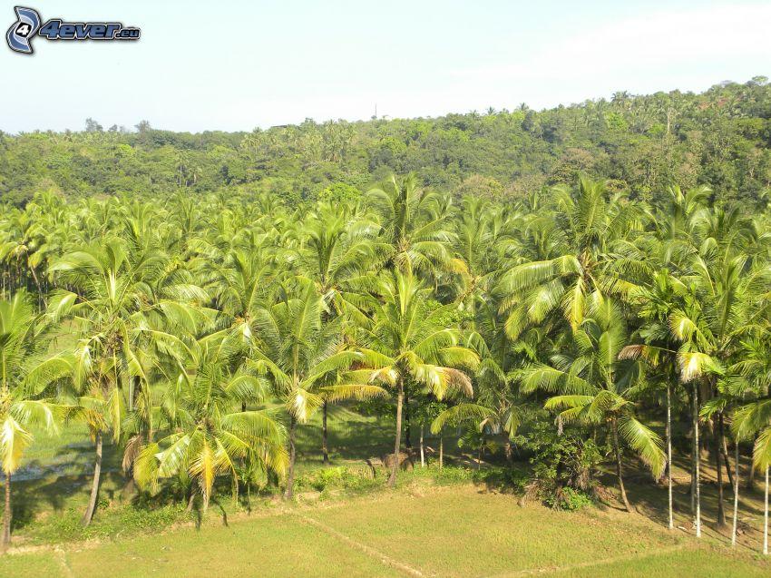 palme, foresta