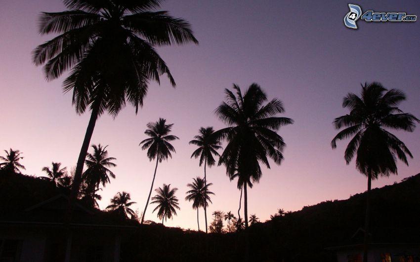 palme, siluette di alberi