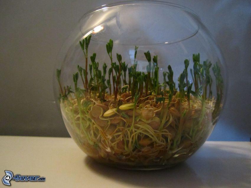 acquario, piante