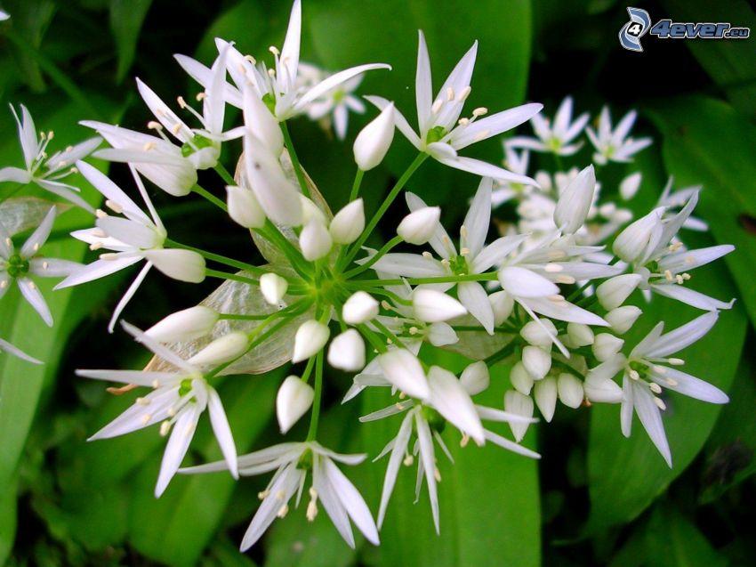 Aglio orsino, fiori bianchi