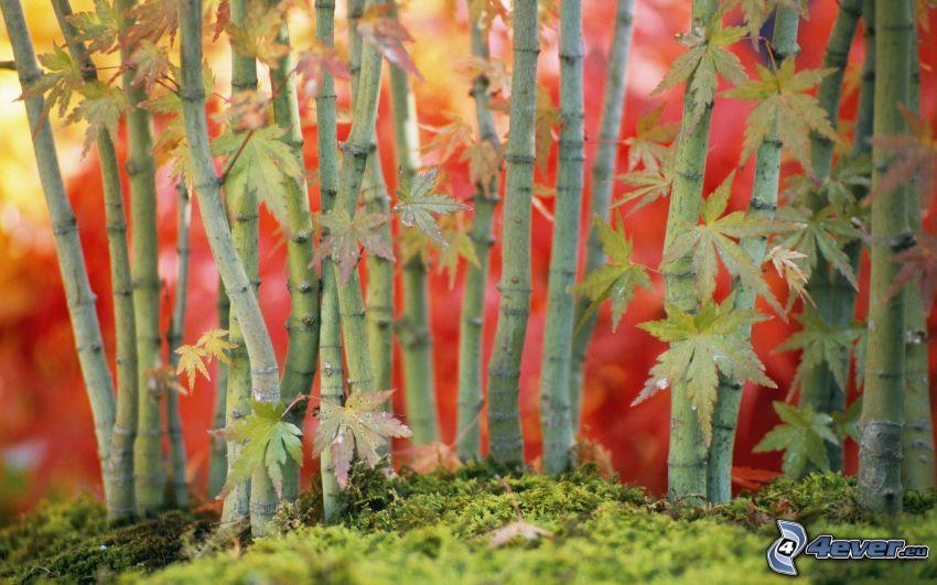 alberi, muschio