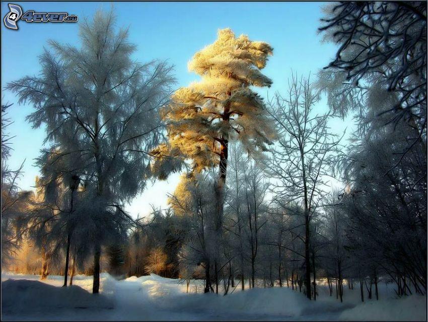 alberi congelati, bosco innevato, neve, strada innevata