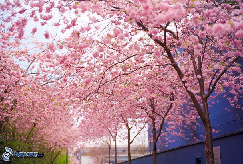 alberi in fiore, fiori rossi