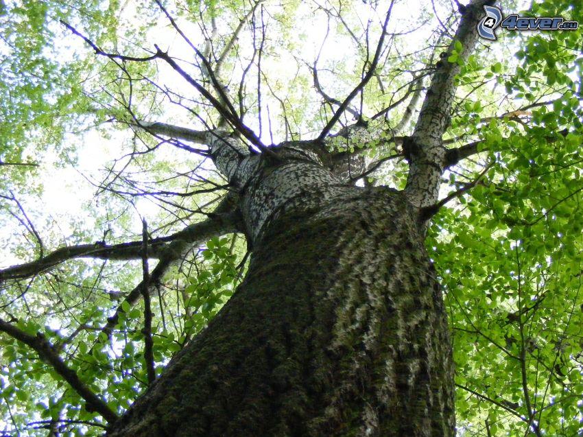 albero frondoso, rami, foglie verdi