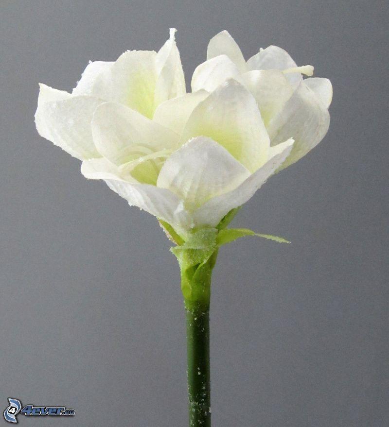 Amaryllis, fiore bianco