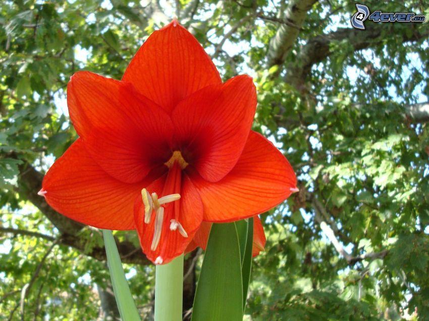 Amaryllis, fiore rosso
