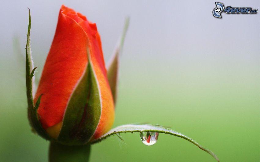 bocciolo di rosa, goccia d'acqua