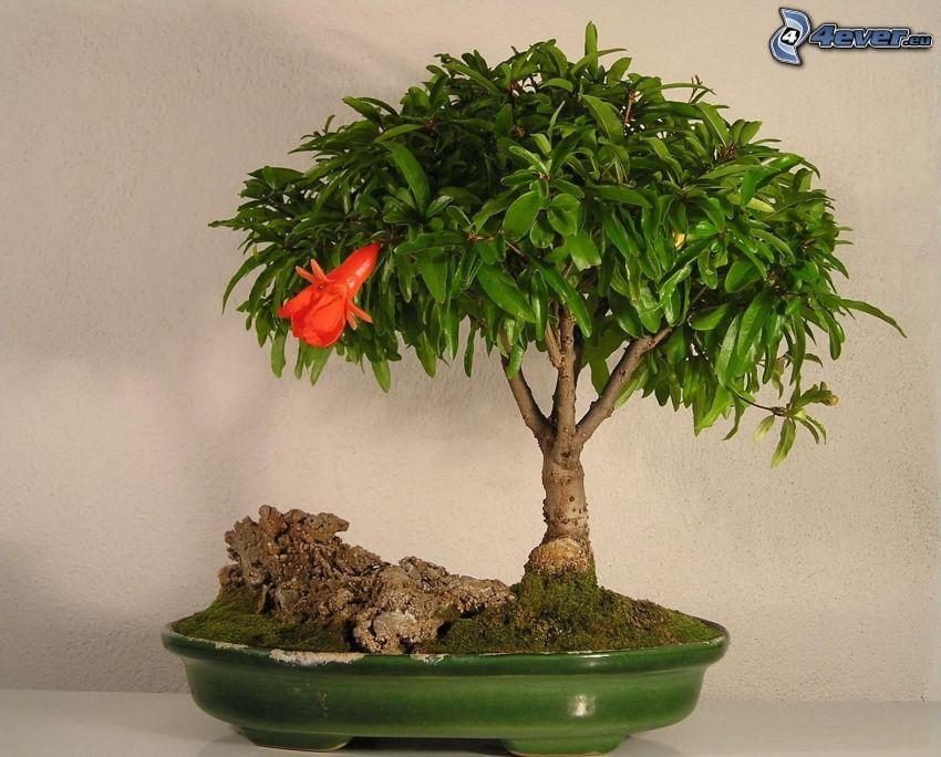 bonsai, albero, pentola