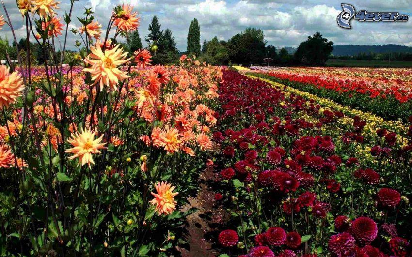 campo di fiori, fiori colorati