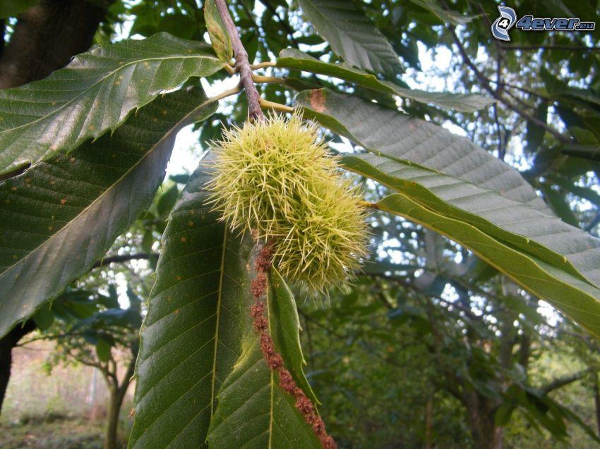 castagne, foglie, ramo