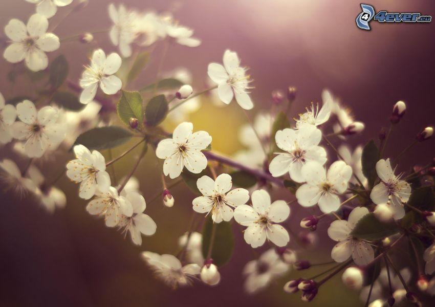 ciliegio in fiore, fiori bianchi, ramoscello