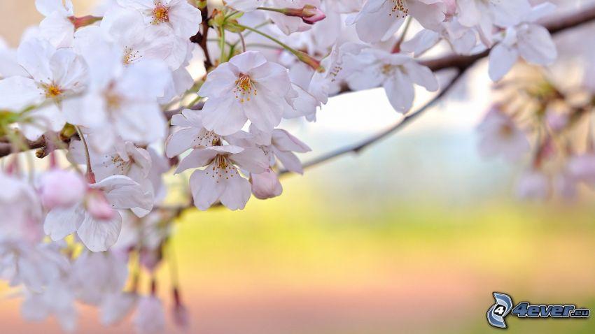 ciliegio in fiore, fiori bianchi