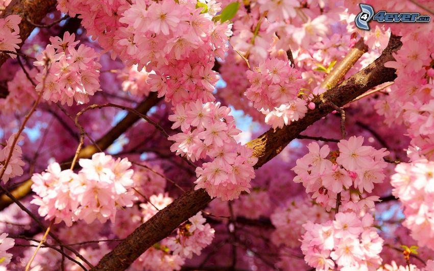 ciliegio in fiore, fiori rossi