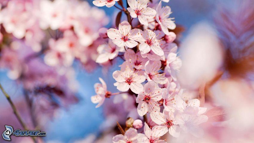 ciliegio in fiore, ramo fiorito