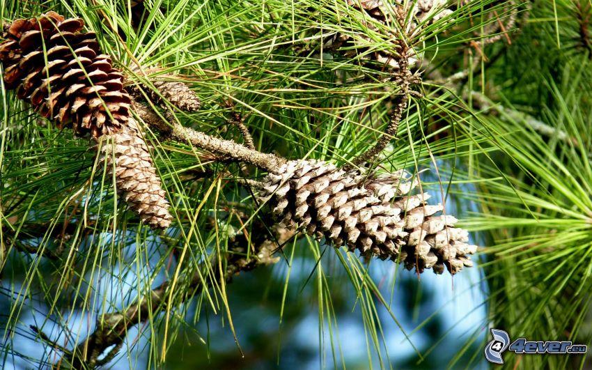 coni di albero, rami di conifere