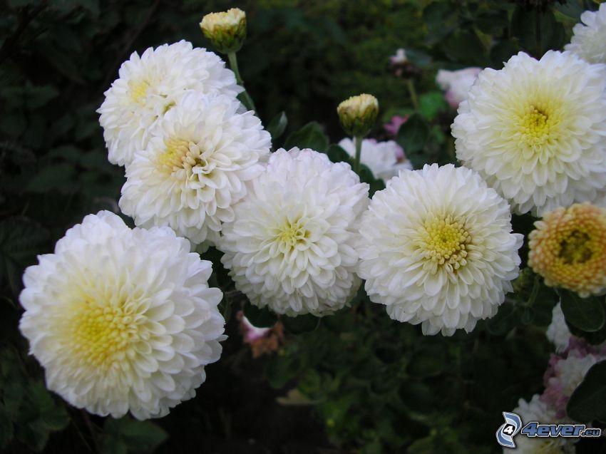 Crisantemi, Bianco