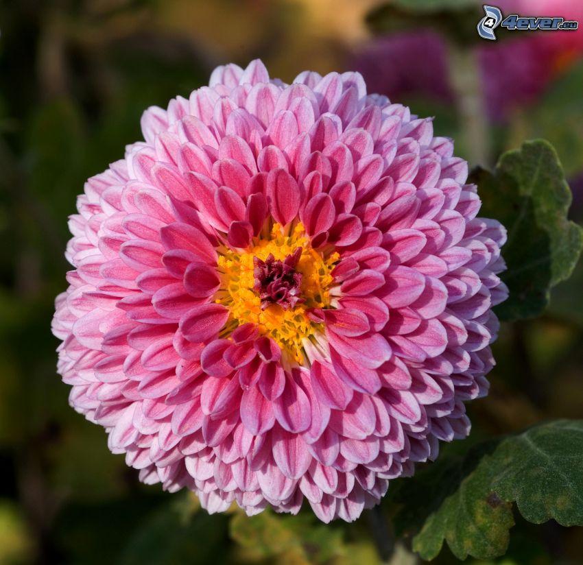Crisantemi, fiore rosa