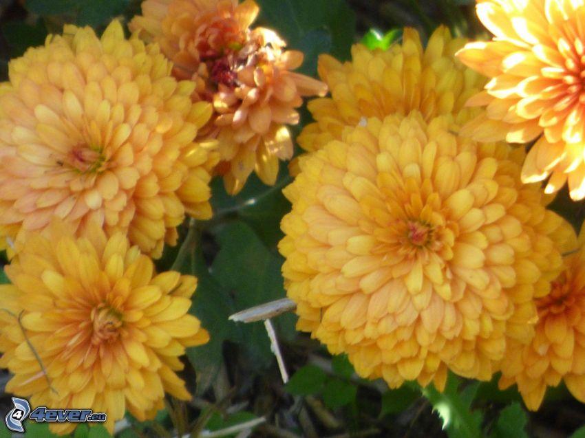 Crisantemi, fiori gialli