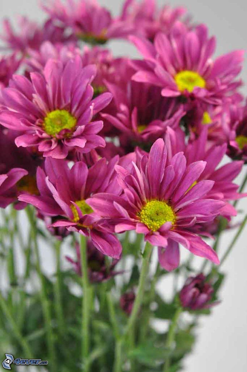Crisantemi, fiori viola