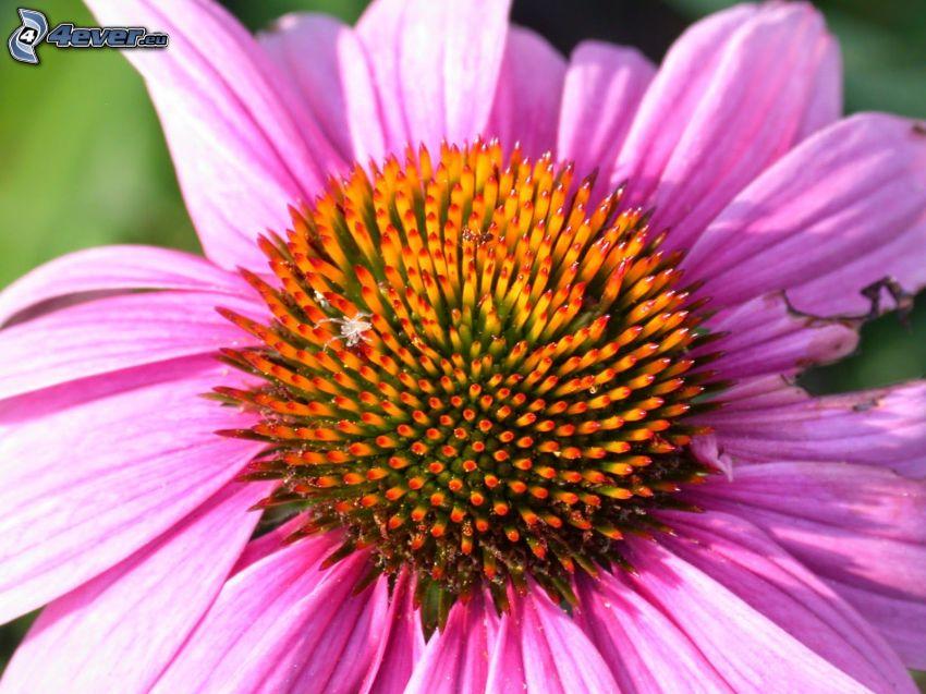 Echinacea, fiore rosa