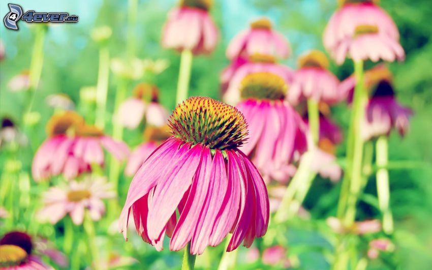 Echinacea, fiori rossi