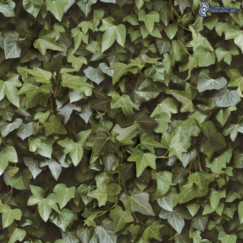 edera, foglie verdi