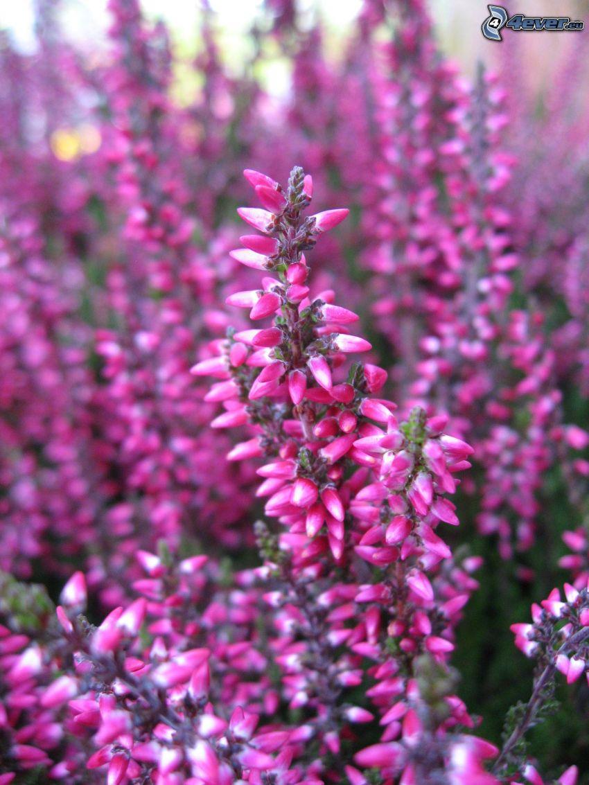 erica, cespugli, fiore rosa