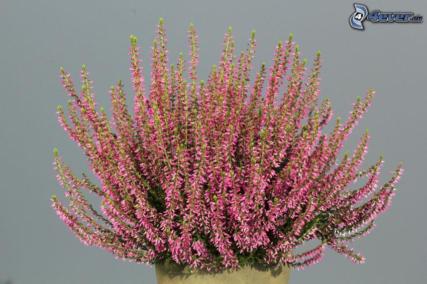 erica, cespugli, fiori rossi