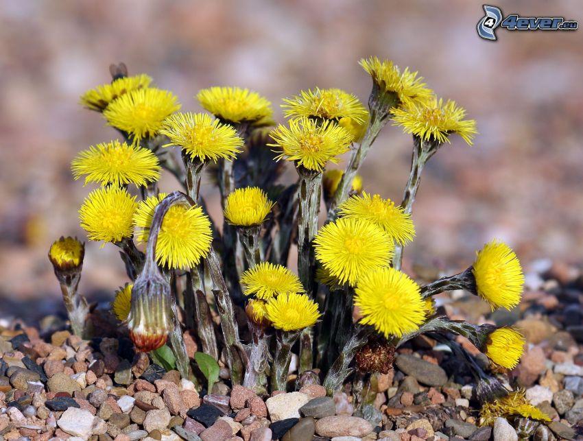 Farfara, fiori gialli