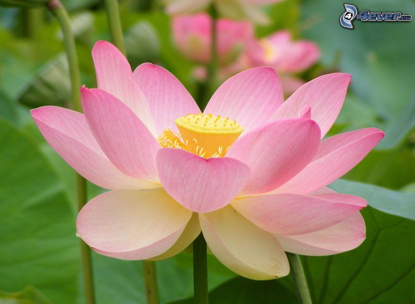 fiore di loto, fiore rosa