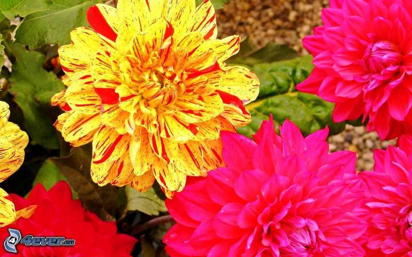 fiore giallo, fiori rossi