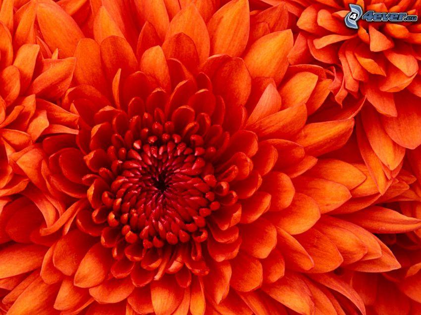 fiore rosso, petali