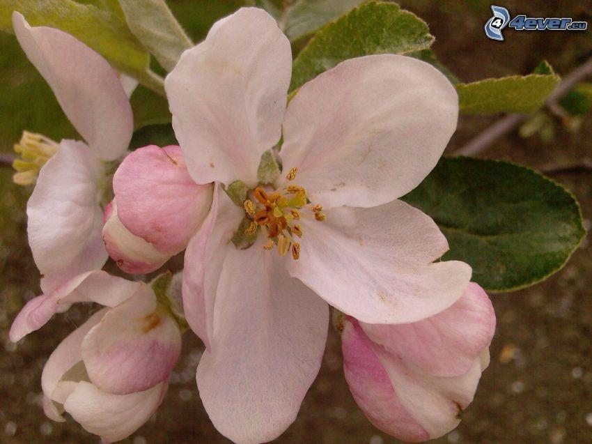 fiore viola, malus