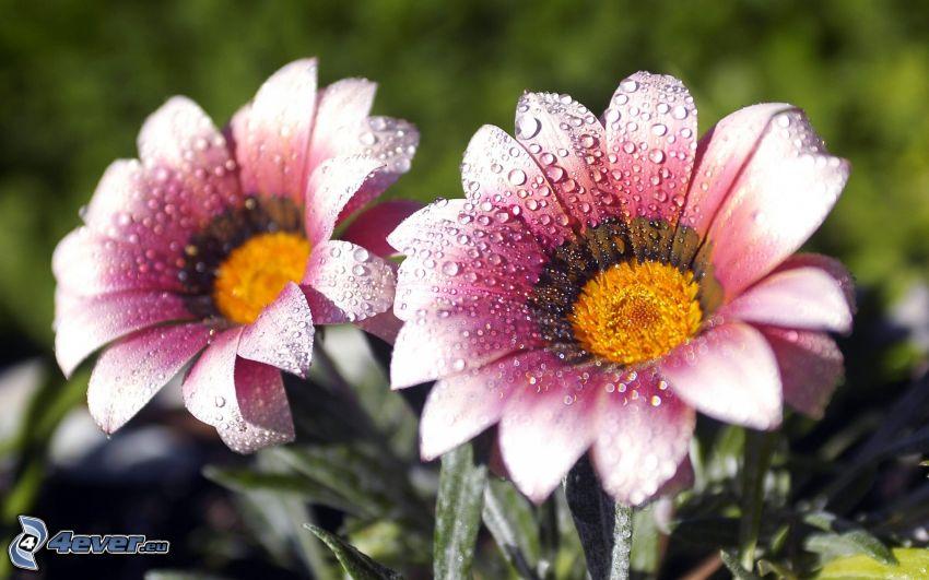 fiori, fiore con rugiada