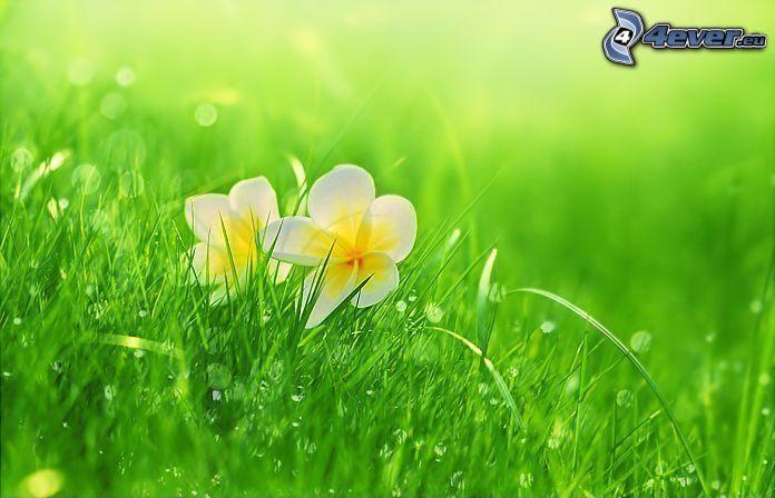 fiori bianchi, l'erba, gocce d'acqua