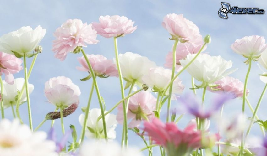 fiori bianchi