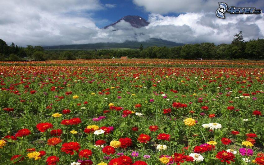 fiori colorati, campo, nuvole, montagna, alberi