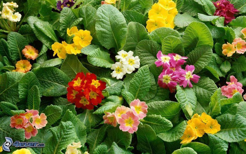 fiori colorati, foglie