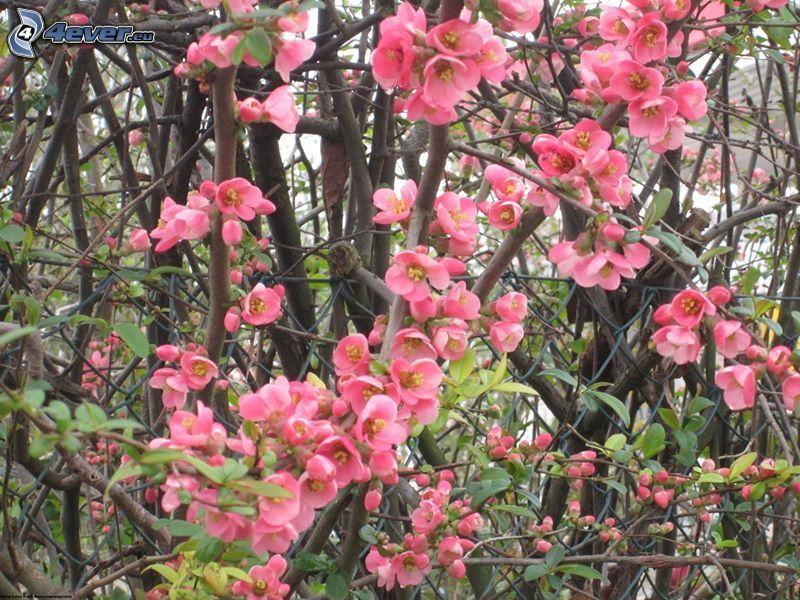 fiori rossi, arbusti