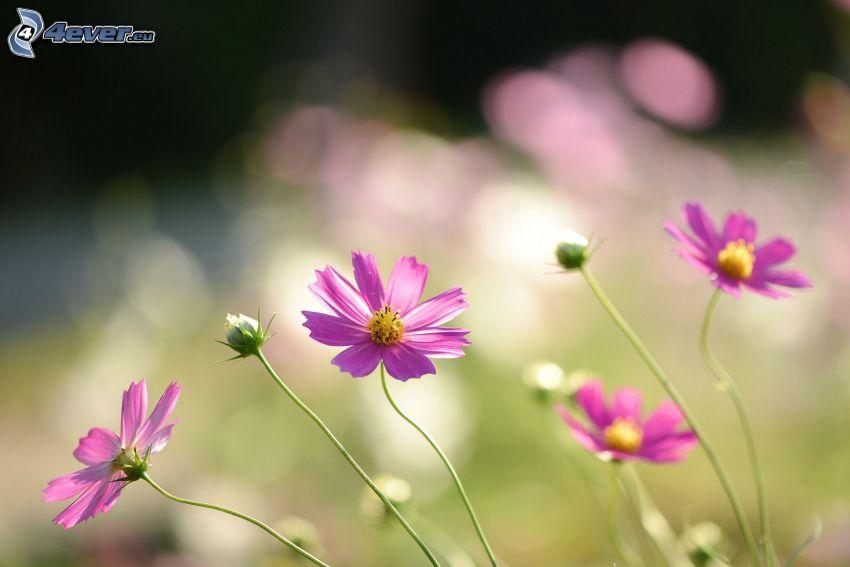 fiori rossi, fiori di campo