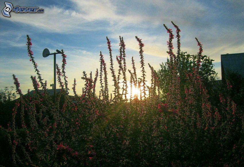 fiori rossi, tramonto dietro il prato