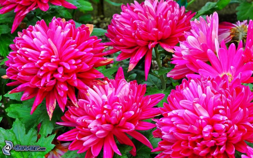 fiori rossi