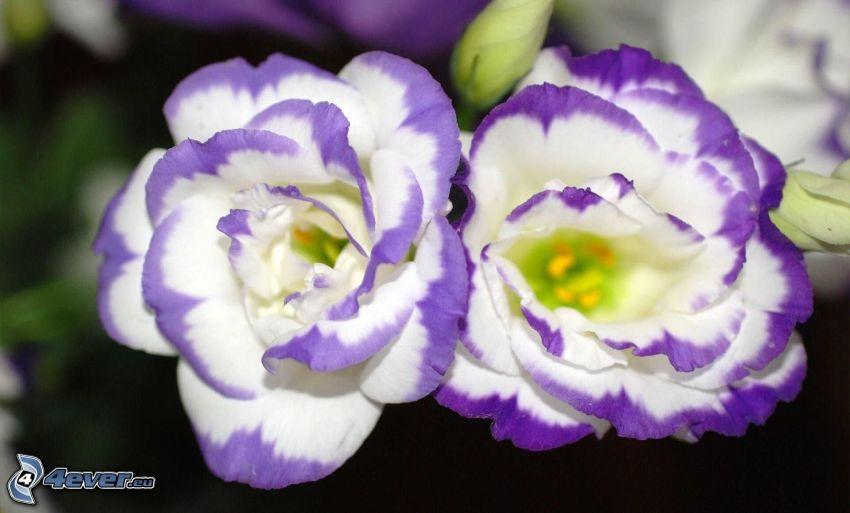 fiori viola, fiori bianchi