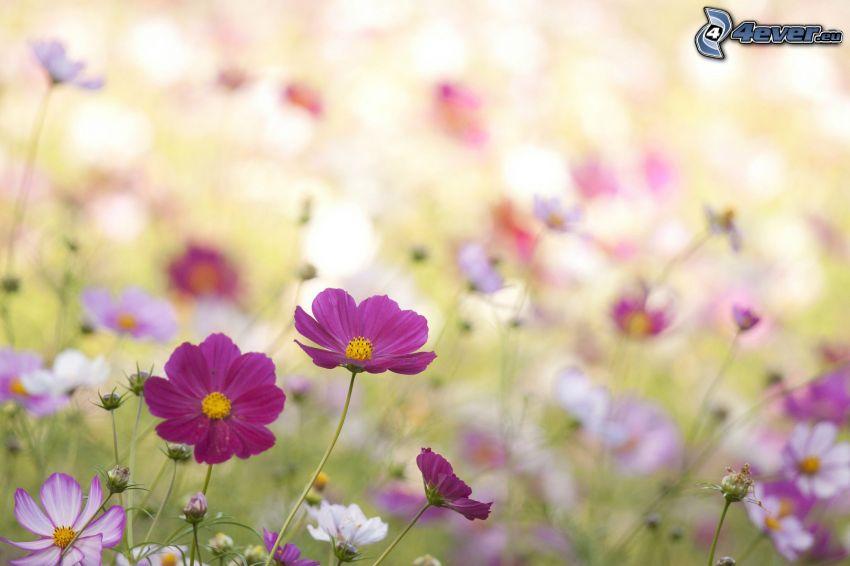 fiori viola, fiori di campo