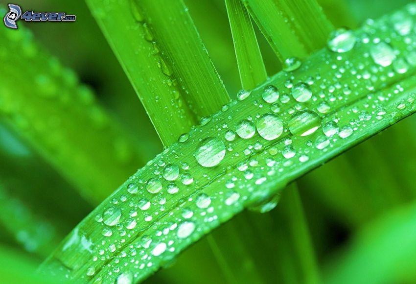 foglia con rugiada, foglia verde, gocce d'acqua