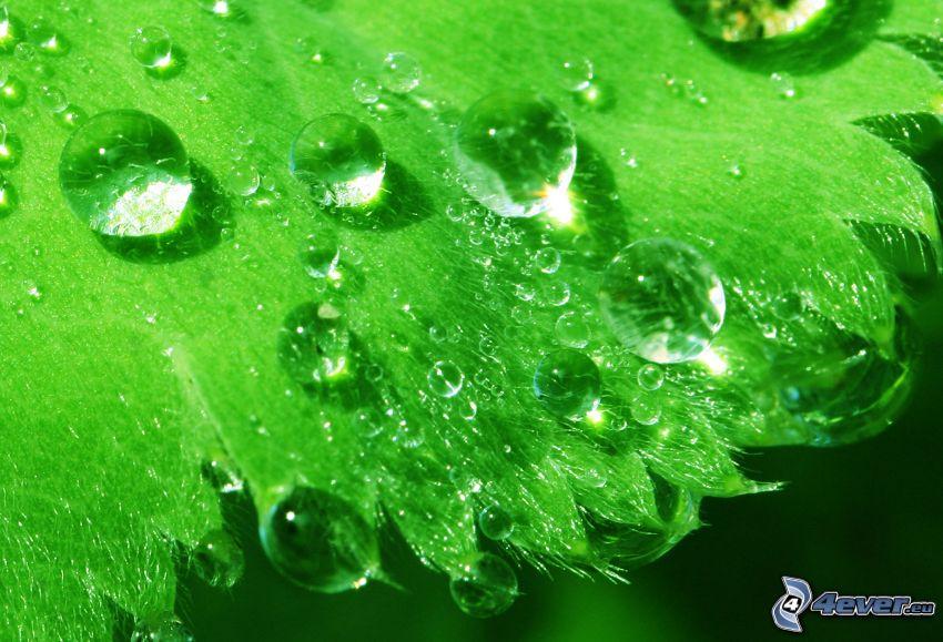 foglia verde, gocce d'acqua