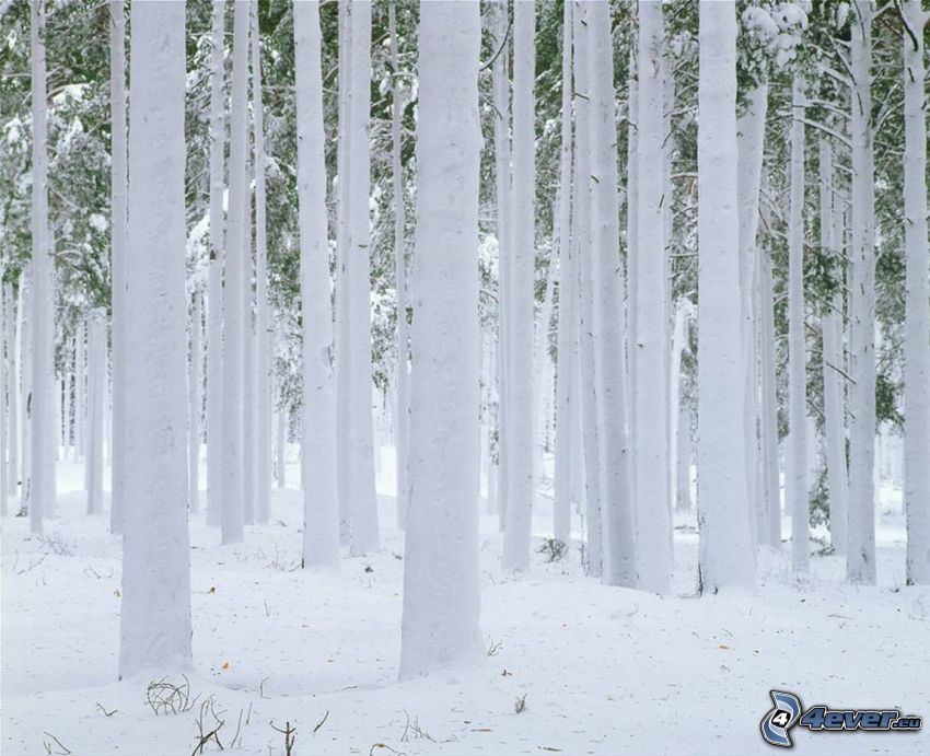 foresta congelata, neve
